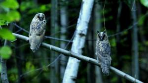 Junge Waldohreulen